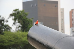 Birdie on a cannon