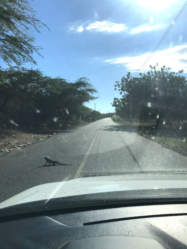 Iguana on the street in the Dominican Republic